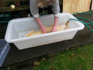 Washing of harvested Kombucha fabric copy 4